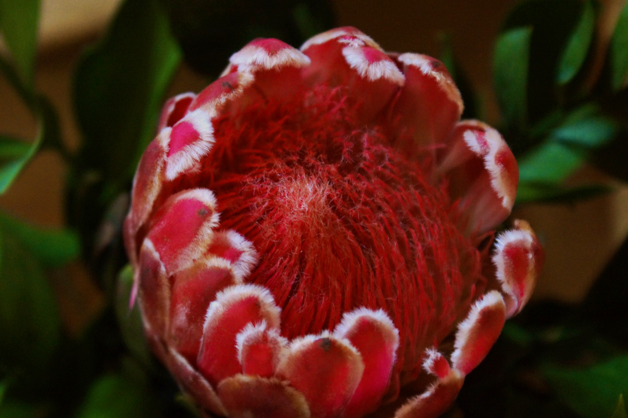 protea national flower of south africa dispatches from the road