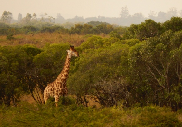 Giraffe at Phinda