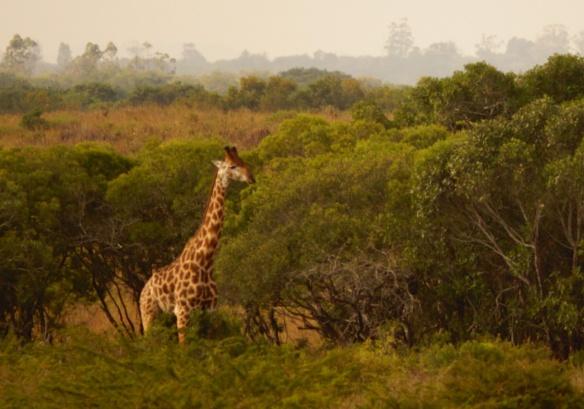 Giraffe at Phinda
