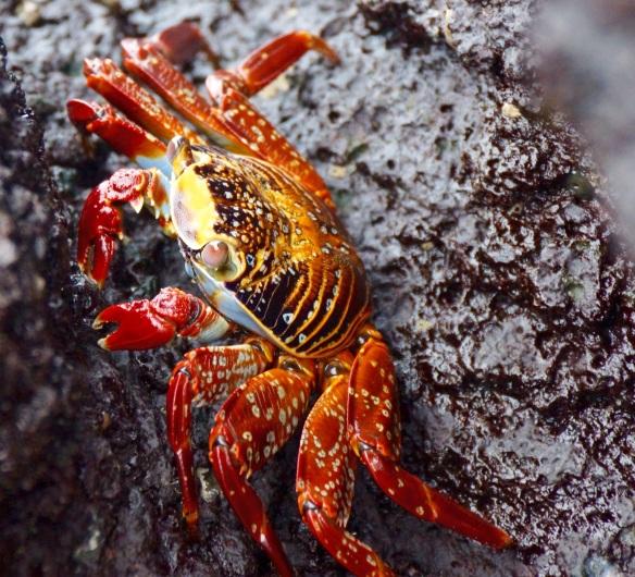 Crab at Darwin Bay