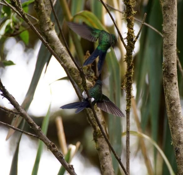 Pair of hummingbirds