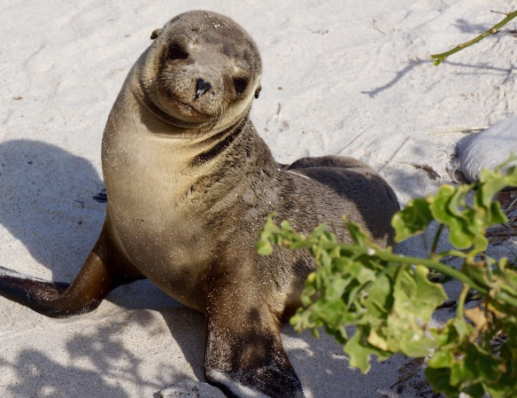 Baby Sea Lion -Darwin Bay, Galapagos