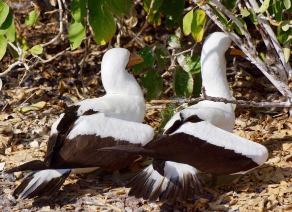 Nasca Booby- Genovese Island, Galapagos