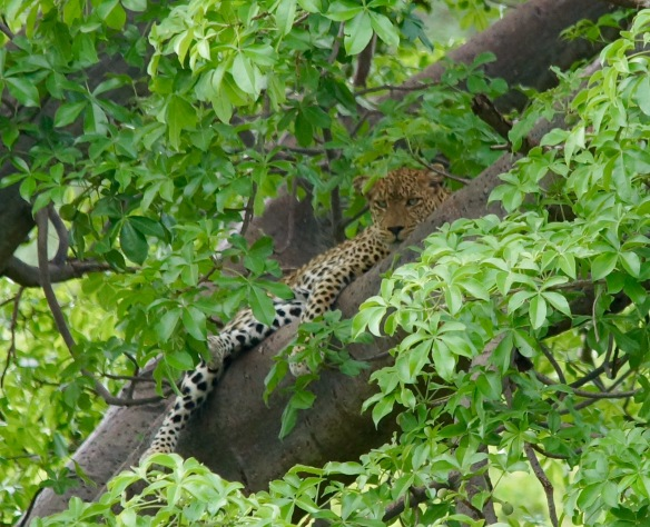 Leopard tucked away nicely