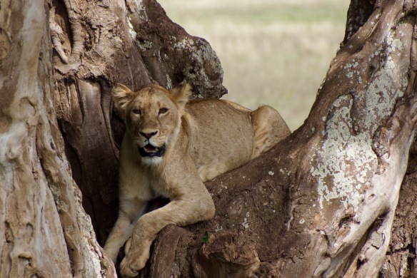 Lake Manyara Tree Lion
