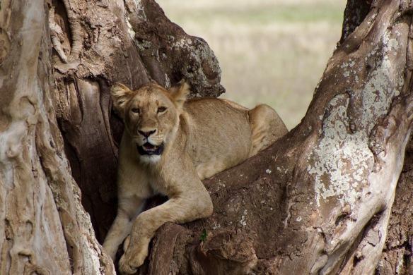 Lake Manyara Tree Lion